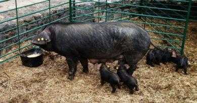 Свиньи потери