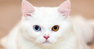 котики с глазами разніми
