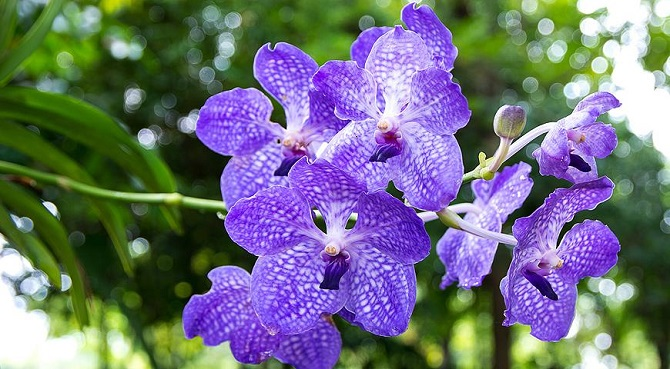 Комнатные орхидеи Ванда
